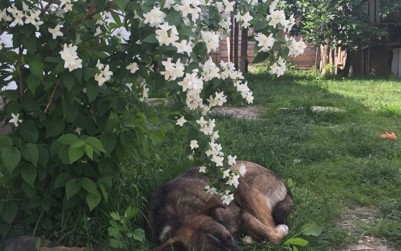 A rescued dog sleeping under the flowers in his new owners' yard